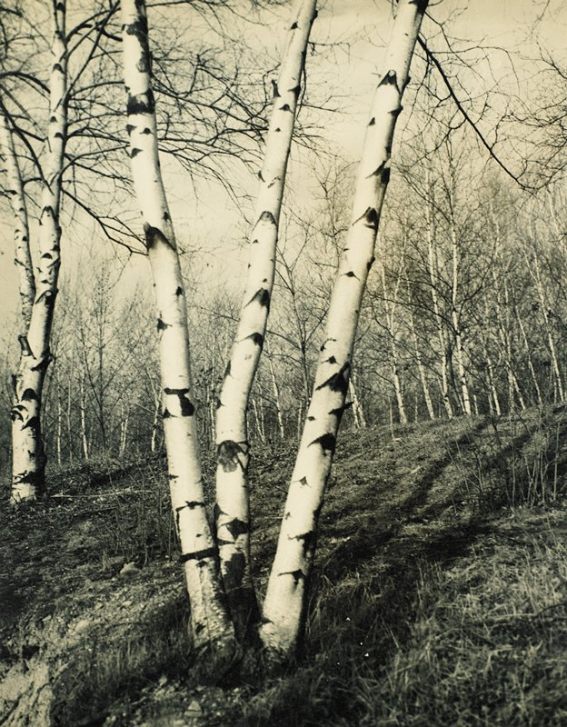 three white birches, center foreground; one birch, left center, and a large stand of birches in background; trees are leafless