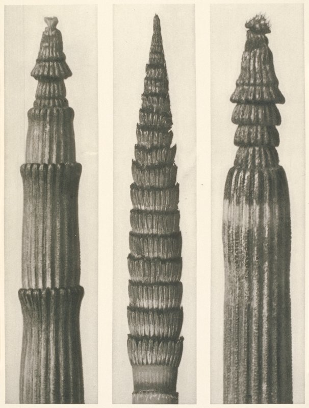 three separate images of plant stems (a) vertical striations with four lobes; top lobe shaped like a mushroom; (b) pointed plant stem with 19 rows of 'petals'; (c) straight striated stem with mushroom shaped top lobe