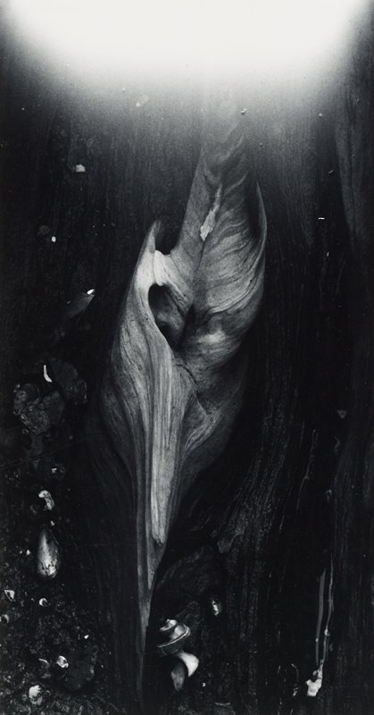 abstracted image; curled piece of wood imbedded in darker bark (?)