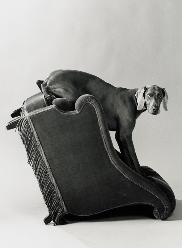 dog sitting with front paws on top of backrest and backside on front edge of seat of a chair with fringed bottom, overturned onto its back; seen from PL side; dog's head turned to face front