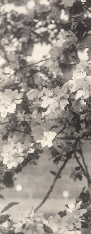 close-up of white blossoms on branches