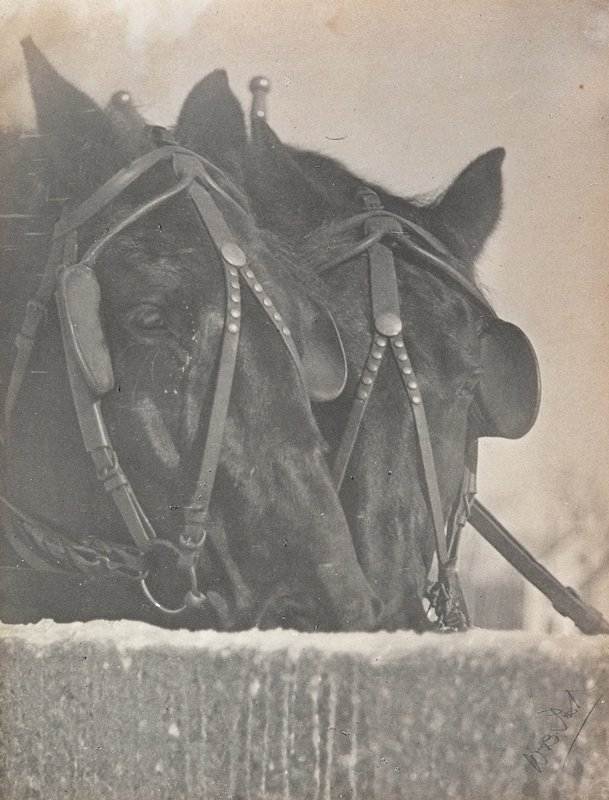 heads of 2 horses wearing bridles with blinders, with their mouths in a trough, drinking; mount attached to paper folder