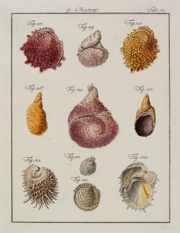 "10 shells of varied shapes and colors, numbered ""Fig. 514"" through ""Fig. 523"""