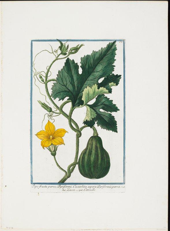 no number, 66 writen in ink, Pepo fructu parvo, Pyriformi, Cucurbita aspera Pyriformis, parva. T.105