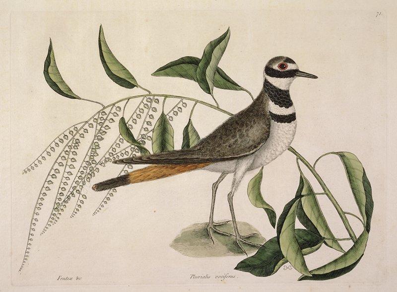plate 71; bird print