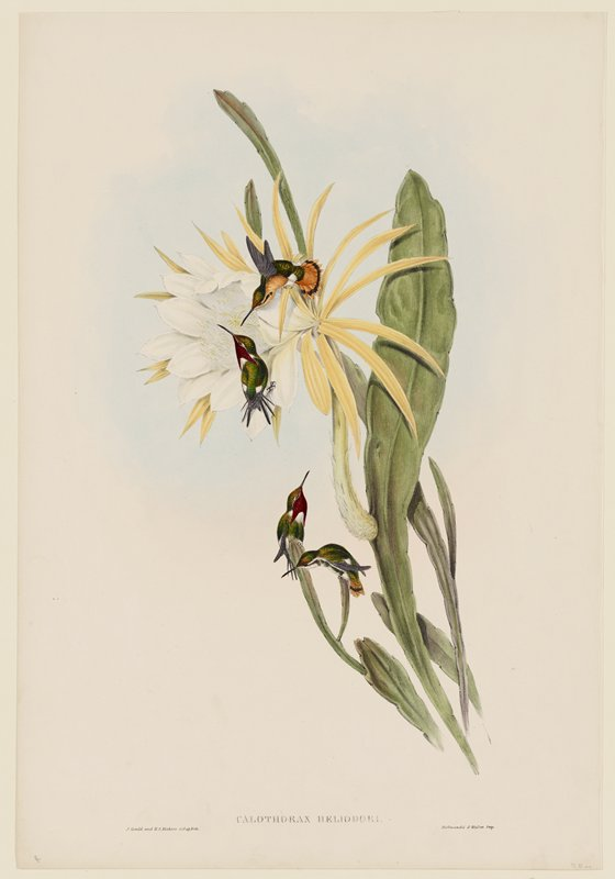 birds (hummingbird)