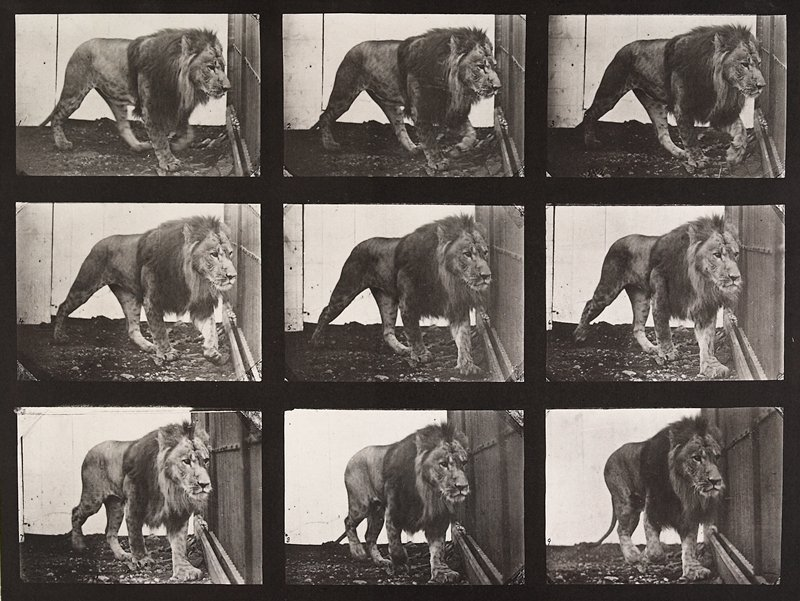 Lion, walking. From a portfolio of 83 collotypes, 1887, by Edweard Muybridge; part of 781 plates published under the auspices of the University of Pennsylvania