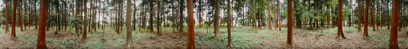 417 degree panoramic color photograph; grove of cedar trees