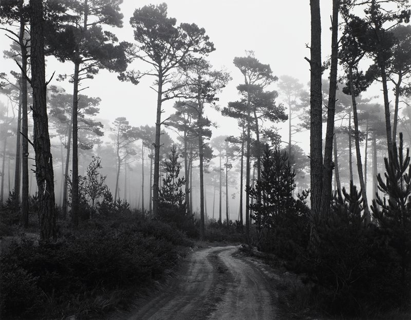 dirt road through trees with tall trunks; fog in background